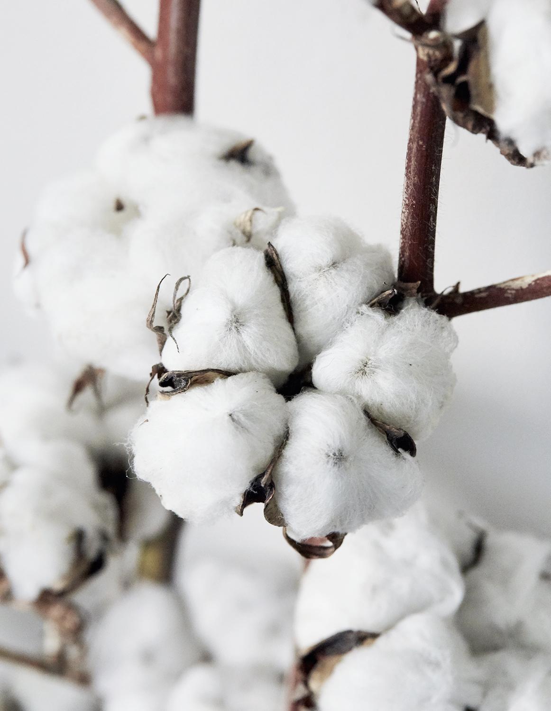 Fleur de coton - Photo confinée