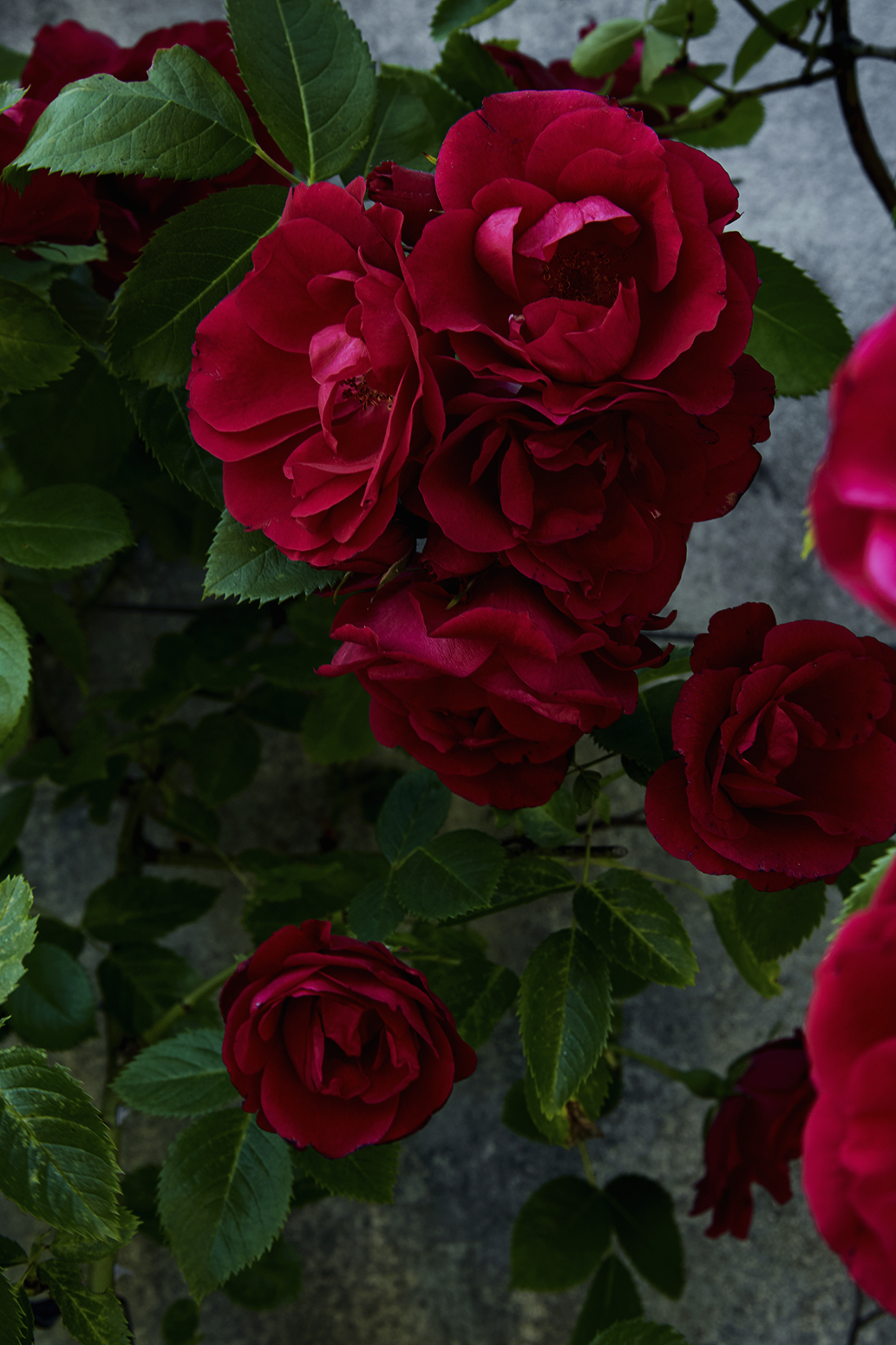 Red roses (Viarmes)